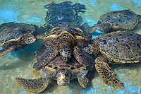 Group of green sea turtles, Chelonia mydas, copulate in the tank at the Sea Life Park, Oahu, Hawaii, USA (captive)