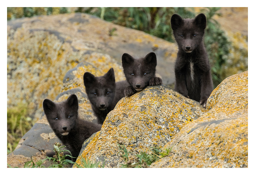 Blue Phase Arctic Fox; Vulpes lagopus; sometimes identified as Vulpes lagopus pribilofensis; young pup(s); Saint Paul Island one of Pribilofs Islands in Bering Sea; Alaska