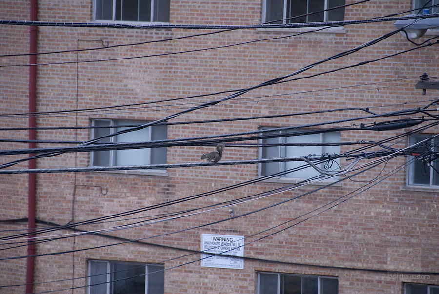 squirrels use the electricity wiring in town to move from one end to the other end.