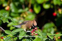 01415-02914 Cedar Waxwing (Bombycilla cedrorum) eating berry in Serviceberry Bush (Amelanchier canadensis), Marion Co., IL