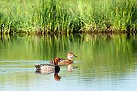 Redhead swim on a lake at Bowdoin National Wildlife Refuge near Malta, Montana.