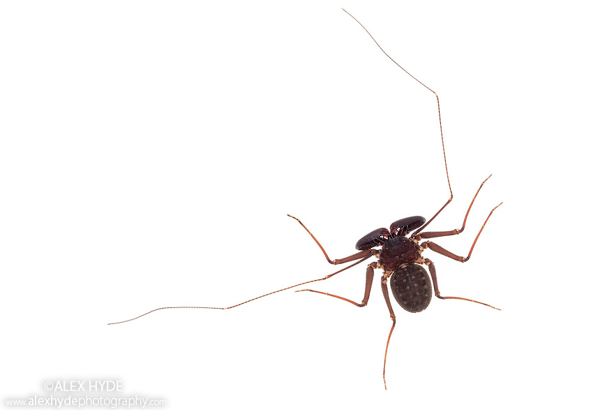 Tanzanian Giant Tailless Whipscorpion <br /> {Damon variegatus} photographed on a white background. The highly flexible pair of whip-like legs are used to feel for prey and to detect the whipscorpion's surroundings . Captive, originating from Kenya and Tanzania.