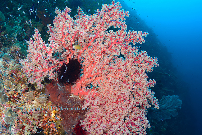 Amazing seafan , Larantuka, eastern end of Flores Island, East Nusa Tenggara, Indonesia. ,