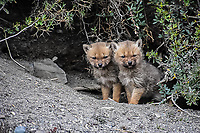 A pair of  Andean Gray Fox Kits in Torres Del Paine peer out of their den awaiting their mother's return.