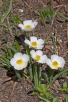 Pyrenäen-Hahnenfuß, Pyrenäenhahnenfuß, Pyrenäischer Hahnenfuß, Ranunculus pyrenaeus, Ranunculus pyrenaicus, Pyrenean Buttercup