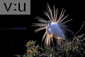 A Great Egret (Casmerodius albus) displaying.