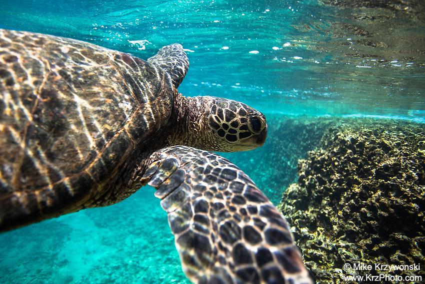Hawaiian green sea turtle swimming underwater, Shark's Cove, Oahu
