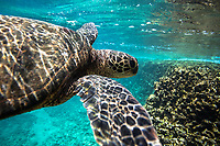 Hawaiian green sea turtle swimming underwater, Shark's Cove, Oahu