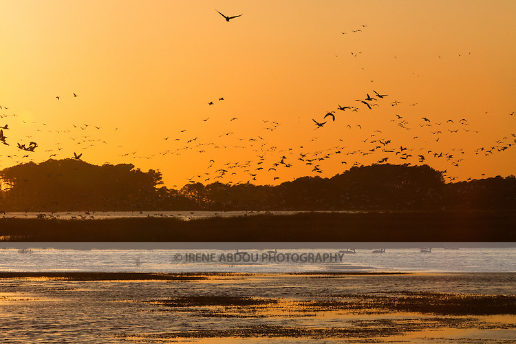 Silhouetted ducks and snow geese bask in the glow of sunset in the Chincoteague National Wildlife Refuge on Assateague Island, Virginia.