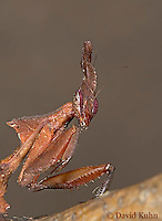 "0314-07uu  Ghost Mantis - Phyllocrania paradoxa ""Female Nymph"" - © David Kuhn/Dwight Kuhn Photography"