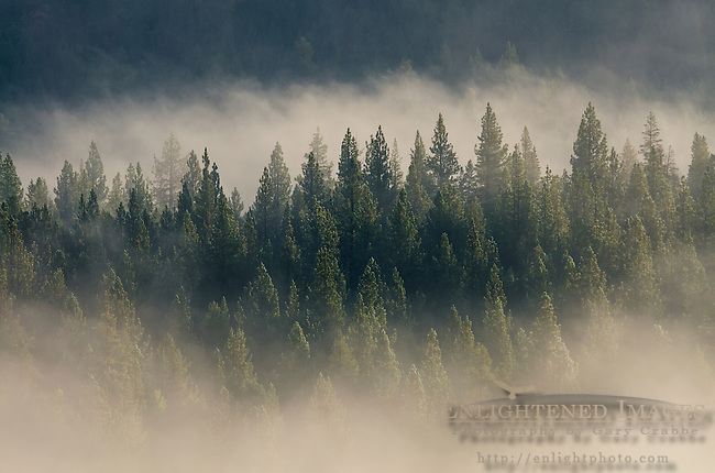 Trees emerging from clearing morning fog, Hope Valley, Alpine County, California