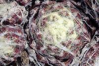 Spinnenweben-Hauswurz, Spinnenweb-Hauswurz, Spinnenwebige Hauswurz, Hauswurz, Dachwurz, Sempervivum arachnoideum, Cobweb House Leek, Dickblattgewächs, Crassulaceae
