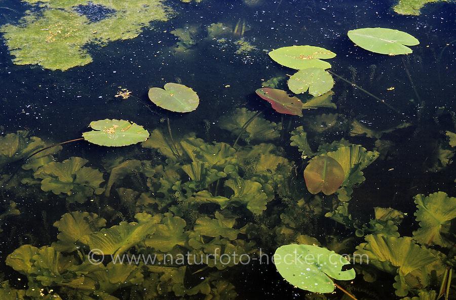 Gelbe Teichrose, Große Mummel, Schwimmblätter und unterschiedlich gestaltete Unterwasserblätter, Nuphar lutea, Brandy Bottle, Yellow Pond Lily, Yellow Water Lily