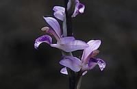 Violet Limodore, Limodorum abortivum , blossom, Samos, Greek Island, Greece, May 2000