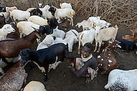 ETHIOPIA, Southern Nations, Lower Omo valley, Kangaten, village Kakuta, Nyangatom tribe, girl milking goats / AETHIOPIEN, Omo Tal, Kangaten, Dorf Kakuta, Nyangatom Hirtenvolk, Maedchen beim Melken der Ziegen