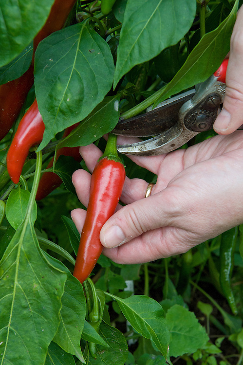 Picking outdoor-grown 'Cayenne' chillies.