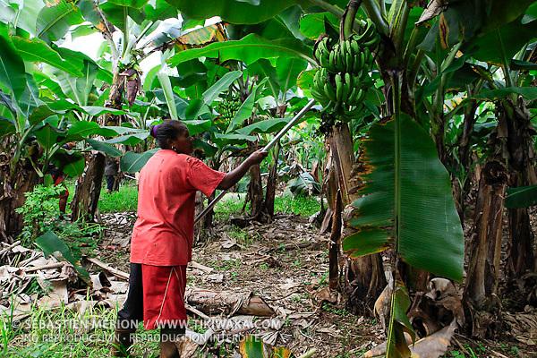 Effeuillage, lutte contre la cercosporiose de la banane (exploitation La Ferme du Sud, Mont-Dore)