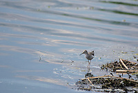 Lesser Yellowlegs, Tringa flavipes, on the shore of San Pablo Lake, Ecuador