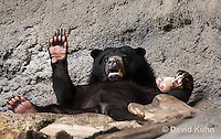 0327-1001  Sun Bear Laying on Back Playing and Eating, Helarctos malayanus  © David Kuhn/Dwight Kuhn Photography.