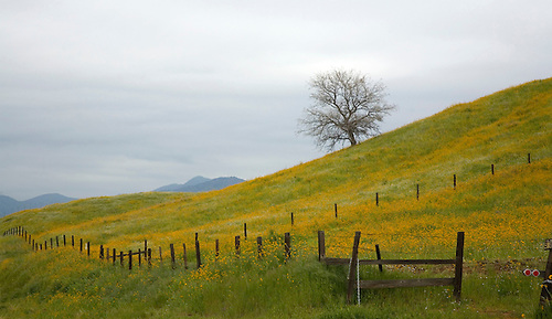 SPRING FLOWERS POPULATE A PASTURE ON A CALIFORNIA FARM IN THE SIERRA FOOTHILLS.