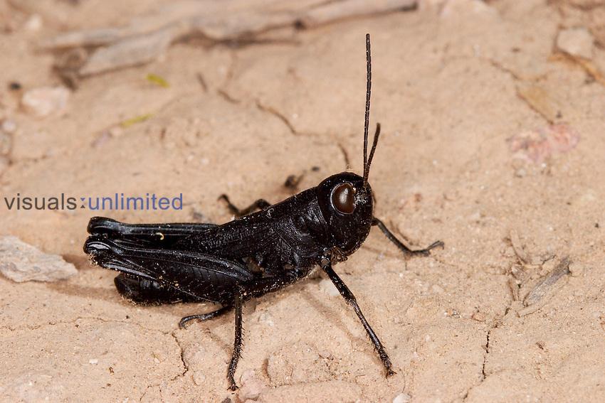 Red-winged Grasshopper (Arphia pseudonietana), Box Canyon, Santa Rita Mountains, Arizona, USA.