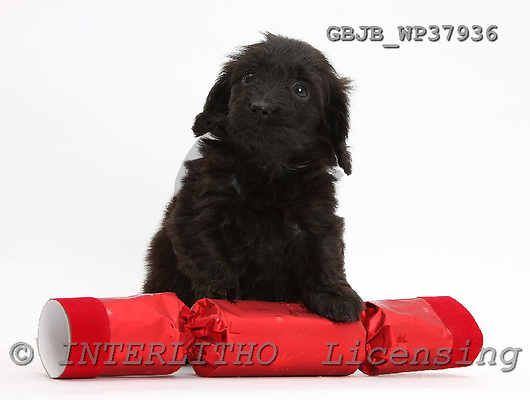 Kim, CHRISTMAS ANIMALS, photos, GBJBWP37936,#XA# stickers
