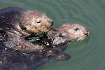 Mating sea otters at Moss Landing