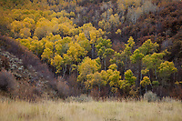 Aspen Trees Colorado Mountains CO America US USA