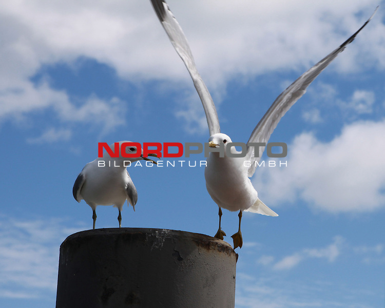 09.08.2013, Nordseeinsel Amrum, GER, im Bild zwei Moewen, Foto © nph / Kohring *** Local Caption ***