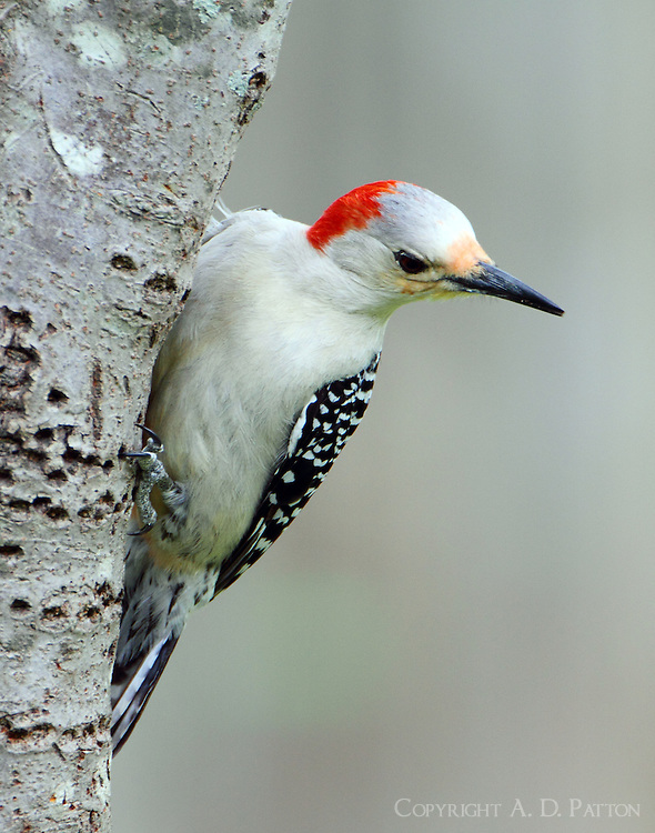 Female red-bellied woodpecker