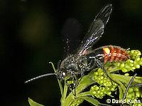 1223-06qq  Digger Wasp - Scolia dubia © David Kuhn/Dwight Kuhn Photography