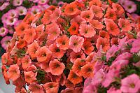 Petunia flowers 'Copper' from Cohen Propagation Nurseries, California Spring Trials