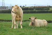 Charolais cross calves, Aspatria, Cumbria.