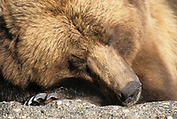 Coastal bear sleeps on a beach in Katmai National Park, Alaska