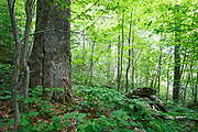Old yellow birch in hardwood forest on the side of Mount Blue in Kinsman Notch of the White Mountains, New Hampshire USA during the spring. This area was part of the  Gordon Pond Railroad, which was a logging railroad in operation from 1907 - 1916 (+/-).