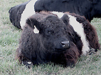 Belted Cow On Farm North Carolina USA By Jonathan L Green