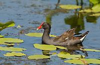 559500022 common gallinule gallinula galeata or common moorhen gallinula chloropus wild.Feeding in Small Pond .Laguna Atascosa National Wildlife Refuge, Texas