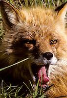 Red Fox, Round Island, Alaska