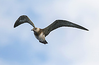 Long-tailed Skua Stercorarius. longicaudus (L 36-42cm) recalls an Arctic Skua but is slimmer with much longer tail streamers in adult; long, pointed wings lack Arctic's white patch. Adult has mainly grey-brown upperparts, dark cap and whitish neck and underparts; note faint yellow flush on cheeks. Juvenile is variably barred grey-brown, palest on nape and chest. Look for it during storms on Outer Hebrides in spring, Cornish coasts in autumn.