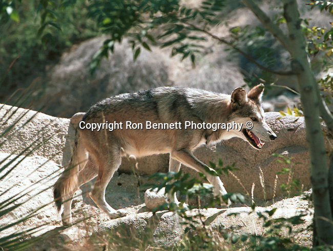 Mexican wolf Canis lups bailey a native of North America, Fine Art Photography by Ron Bennett, Fine Art, Fine Art photography, Art Photography, Copyright RonBennettPhotography.com ©