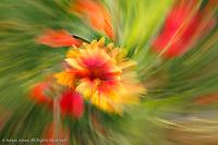 Twirl effect on flower, Palouse region of eastern Washington.