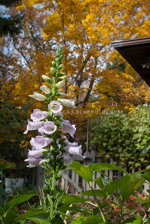 Digitalis purpurea Camelot Lavender foxglove perennial flowers reblooming in October autumn fall