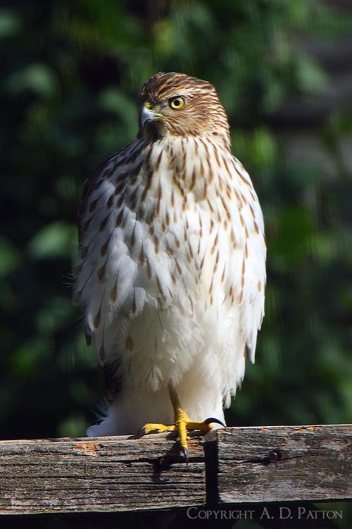 Immature Cooper's hawk resting near my bird feeders