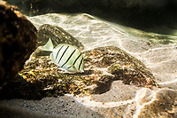 A convict tang (or manini) feeds on algae covering a rock at the bottom of Shark's Cove, O'ahu.