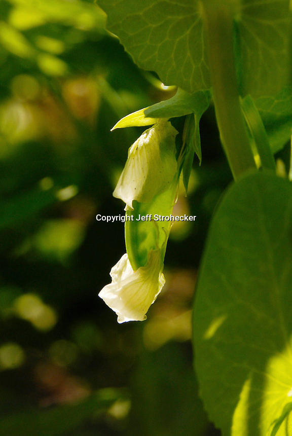 Petite pois or a very young french pea, shedding its flower with young peas showing through the pod.