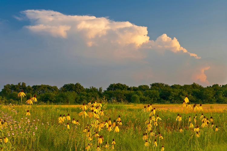 Sunset light on Drooping Coneflowers or Gray-Headed Coneflower (Ratibida pinnata); Midewin National Tallgrass Prairie, IL