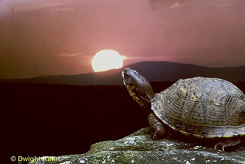 1R07-055z  Eastern Box Turtle - sitting with sun in background - Terrapene carolina