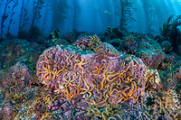 Colorful brittlestars cling to the rocky bottom of a kelp forest off the Santa Barbara Island, Channel Islands National Park, California, USA, Pacific Ocean