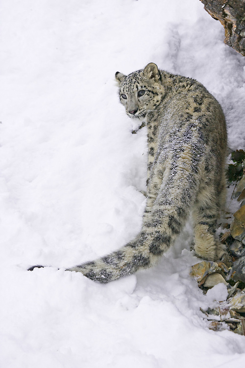 Snow Leopard (panthera uncia) looking back from climbing a snowy, rocky hill - Captive Animal