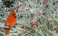 Male Northern Cardinal Richmondena cardinalis) sitting on icy branches of frozen coral berry after ice storm